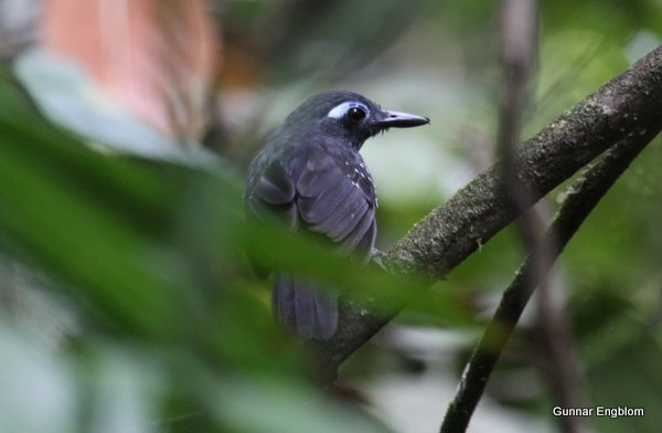 Male Plumbeous Antbird Myremciza hyperythra. Photo: Gunnar Engblom. Yanayacu.