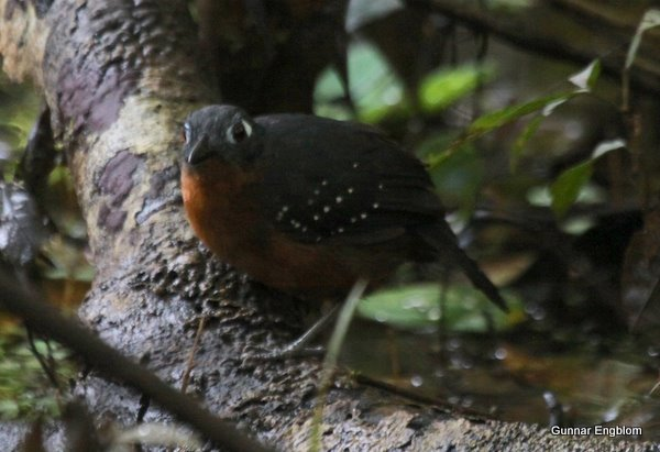 Plumbeous Antbird Myremciza hyperythra, female, Amazon Refuge, Yanayacu, Loreto