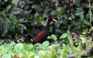 Wattled Jacana with young, Amazon Refuge,