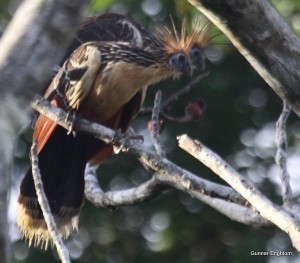 hoatzin, Amazon Refuge, Yanayacu,