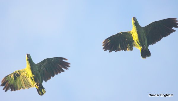 probably Festive Parrot, Amazon Refuge,