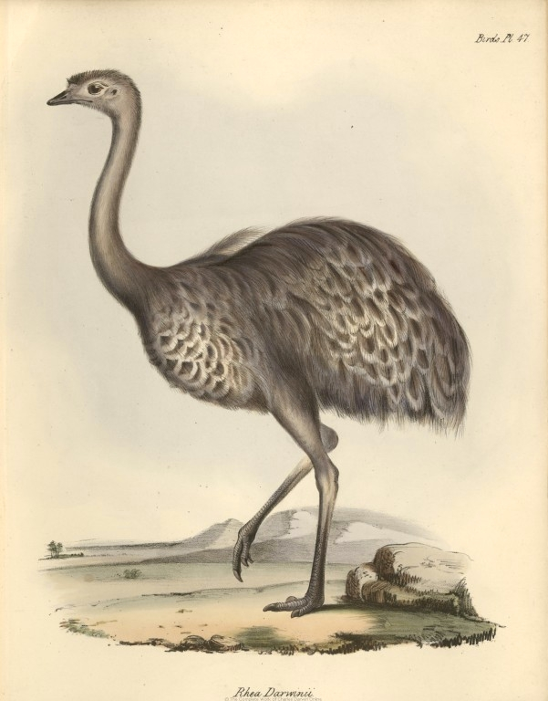 Post image for Darwin's Rheas and the Birth of Evolutionary Theory