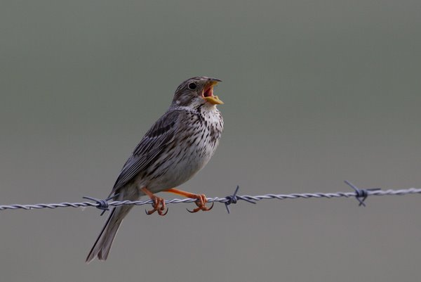Image: Corn bunting, <i>Miliaria calandra</i>. Kriegs/LWL  (with permission) [<a href=