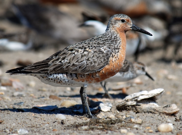Red knot, <em>Calidris canutus rufa</em>, at Mispillion Harbor, Delaware (USA). This species winters in Argentina and makes an epic migration through North America to its Palearctic breeding grounds. NOTE: This image has been cropped from the original.<br><br>Image: Greg Breese/<a href=