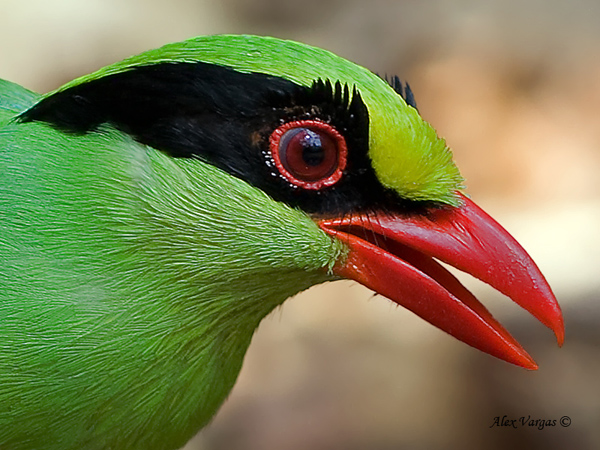 Common Green Magpie by Alex Vargas - 2011