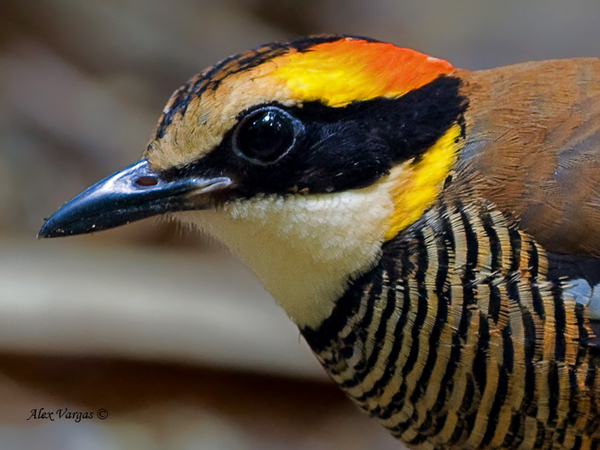Banded Pitta - Female - Portrait