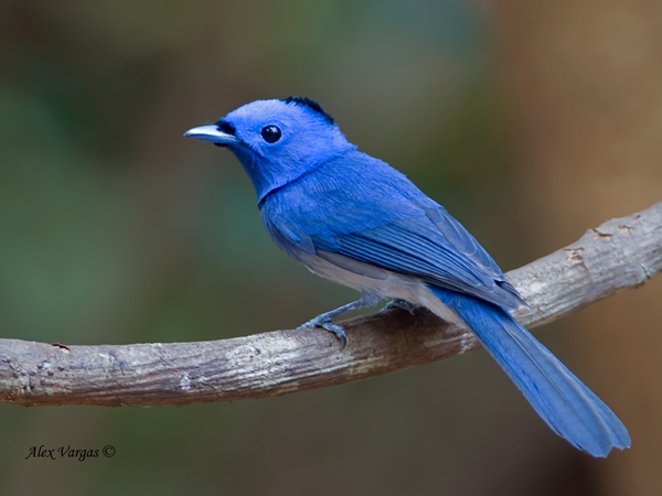 Black-naped Monarch by Alex Vargas, Thailand 2011