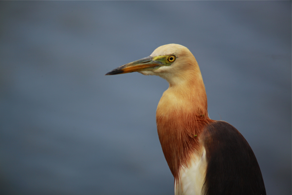 Post image for The stunning Javan Pond Heron