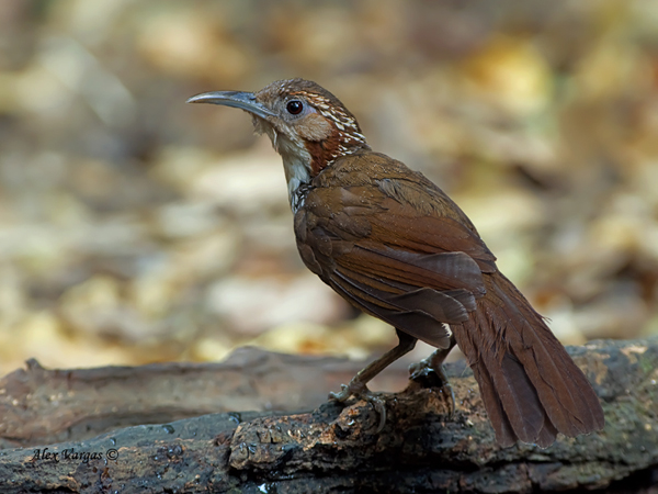 Large Scimitar-Babbler by Alex Vargas, Thailand 2011