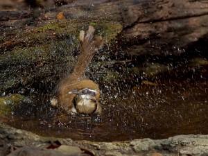 Lesser-necklaced Laughingthrush - splash by Alex vargas, Thailand 2011