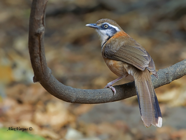 Lesser-necklaced Laughingthrush by Alex Vargas, Thailand 2011