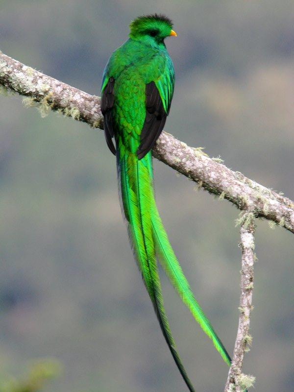 Resplendent Quetzal. Clay Taylor