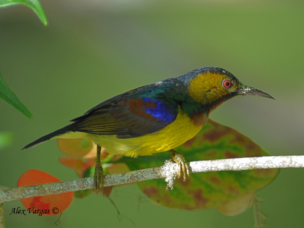 Brown-throated Sunbird - male by Alex Vargas
