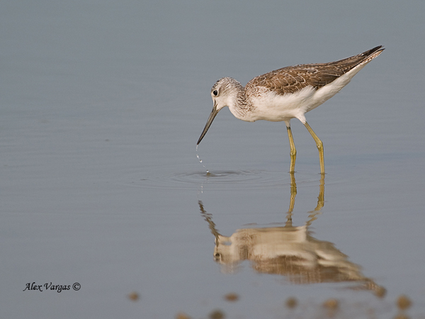Common Greenshank - non breed by Alex Vargas