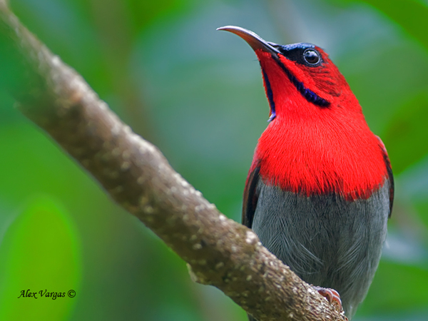 Crimson Sunbird - male - Portrait by Alex Vargas, Thailand 2011