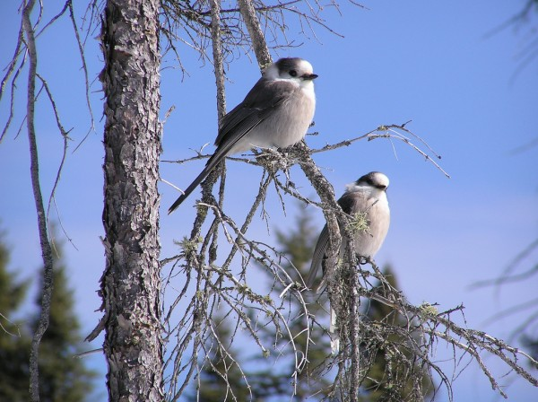 A pair of gray jays, Perisoreus canadensis, sits in one of their conifer trees in Algonquin Park, Canada. Photo: Ryan Norris (with permission) Olympus C750UZ