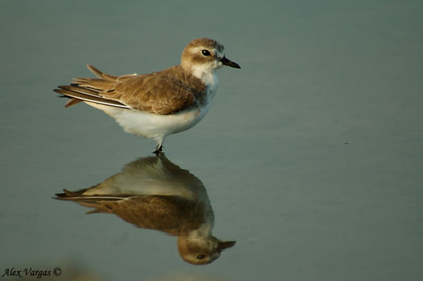 Greater Sand-Plover non breed by Alex Vargas