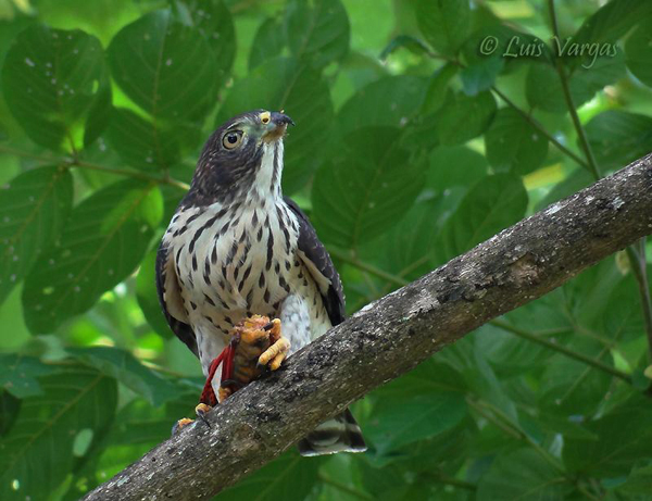 Double-toothed Kite – juvenile by Luis Vargas, Costa Rica 2011
