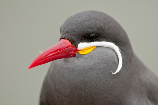 Inca Tern by Alfredo Fernandez