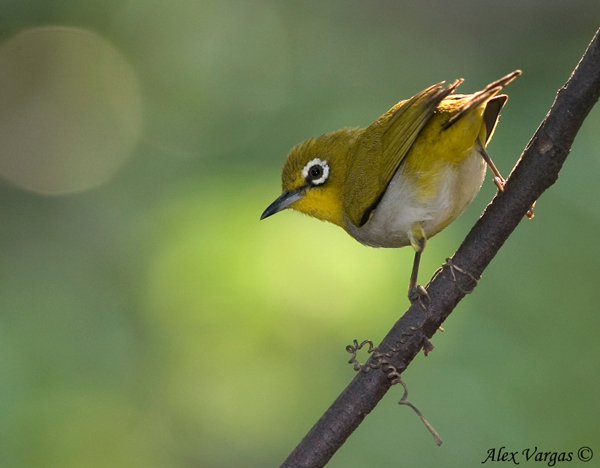 Japanese White-eye by Alex Vargas