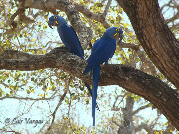 Hyacinth Macaw by Luis Vargas, Brazil