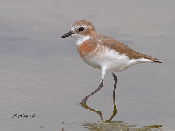 Lesser Sand Plover - female - breed by Alex Vargas