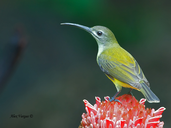 Little Spiderhunter by Alex Vargas