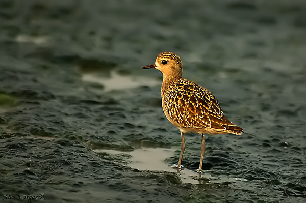 Pacific Golden Plover - molting by Alex Vargas