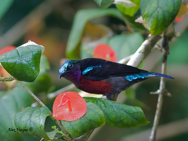 Purple-throated Sunbird - male by Alex Vargas