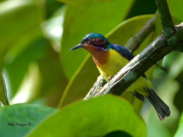 Ruby-cheeked Sunbird - male by Alex Vargas