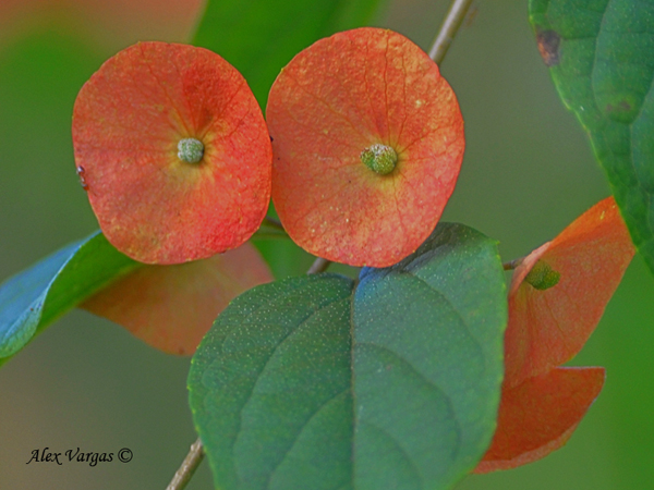 Chinese Hat Flower (Holmskioldia sanguinea) by Alex Vargas
