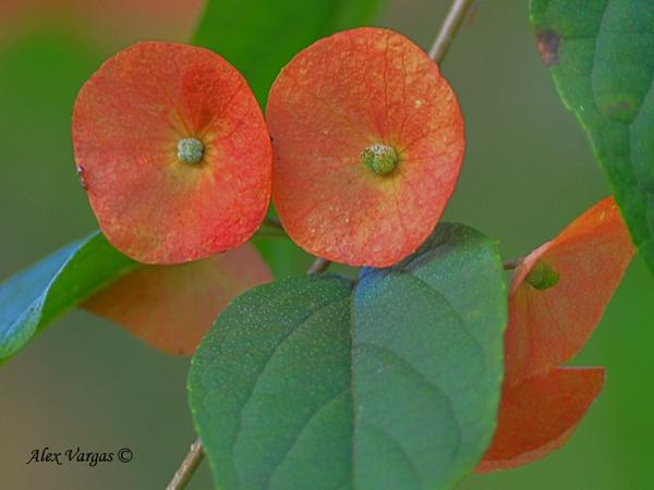 Chinese Hat Flower (Holmskioldia sanguinea) by Alex Vargas