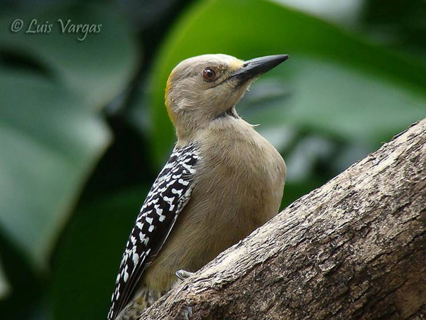 Hoffmanni Woodpecker by Luis Vargas, Costa Rica