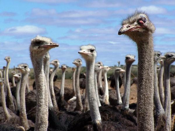 Ostriches photo: geoftheref