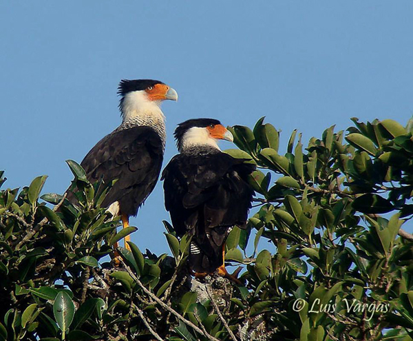 Northern Crested Caracara by Luis Vargas, Costa Rica