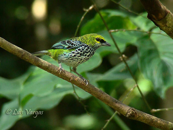 Speckled Tanager by Luis Vargas, Costa Rica