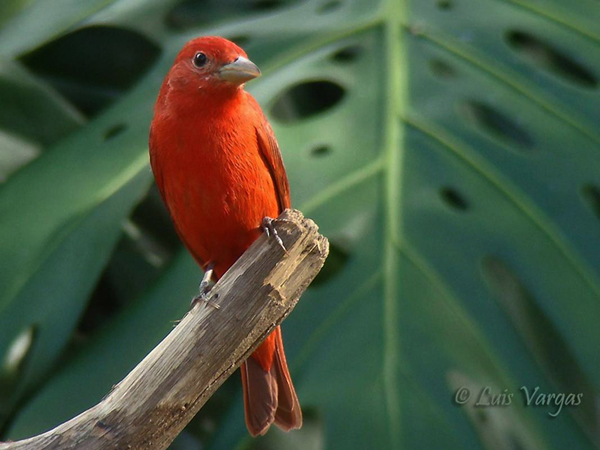 Summer Tanager by Luis Vargas, Costa Rica