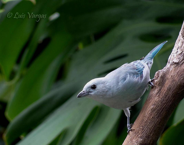 Blue-gray Tanager by Luis Vargas, Costa Rica
