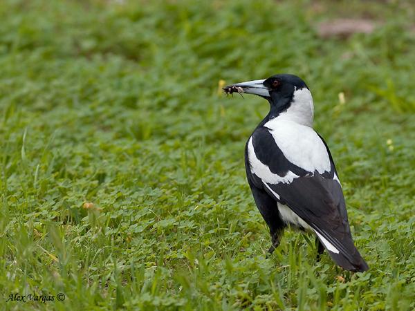 Australian Magpie by Alex Vargas