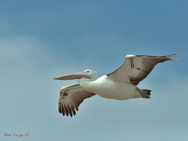Australian Pelican by Alex Vargas