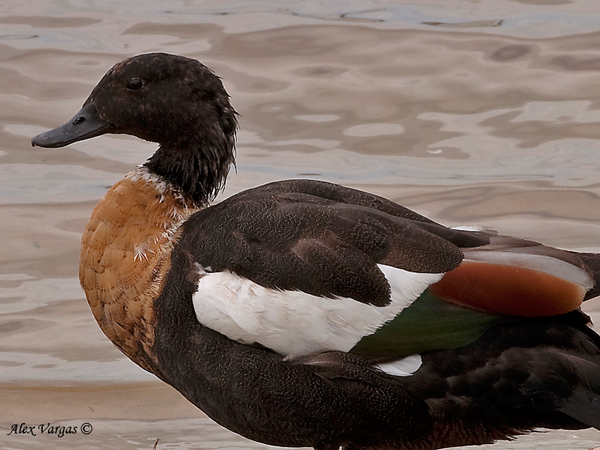 Australian Shelduck - male by Alex Vargas