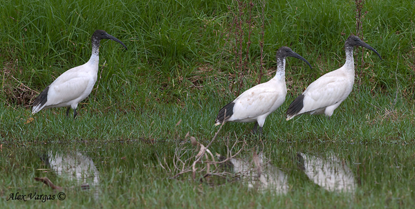 Australian White Ibis by Alex Vargas