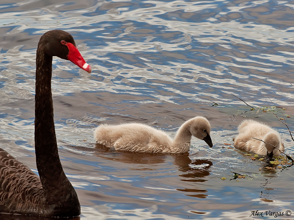 Black Swan with cute -pale- chicks at Bibra Lake by Alex Vargas