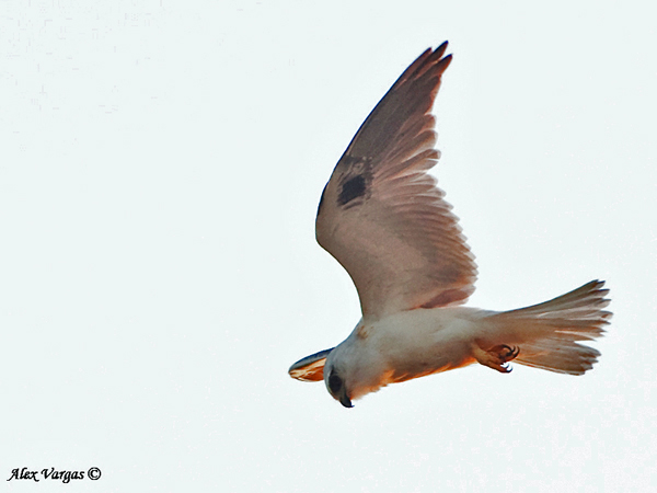 Black-shouldered Kite by Alex Vargas