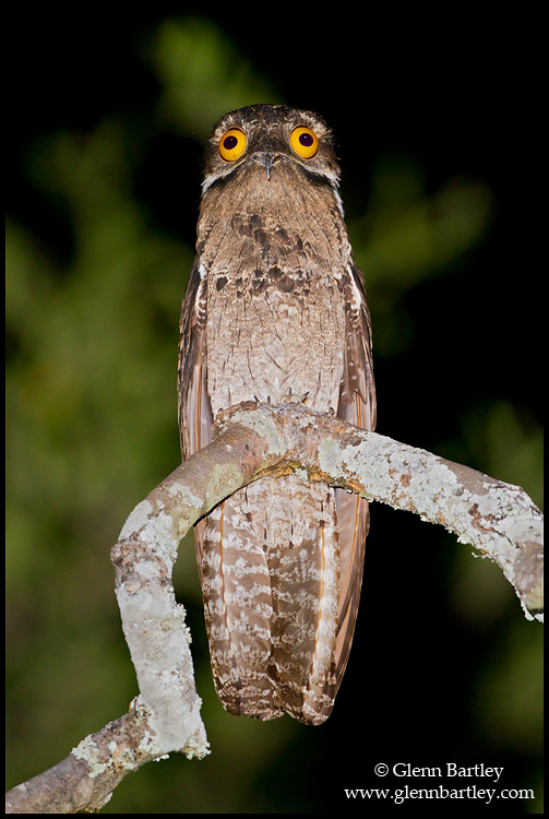 Common Potoo (Nyctibius griseus) perched on a branch in Peru.