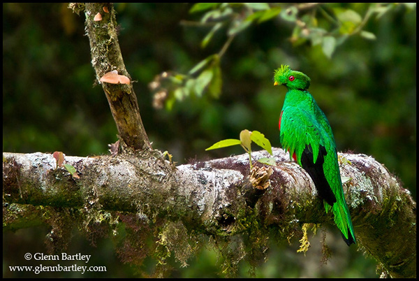 Crested Quetzal (Pharomachrus antisianus) perched on a branch in Peru.