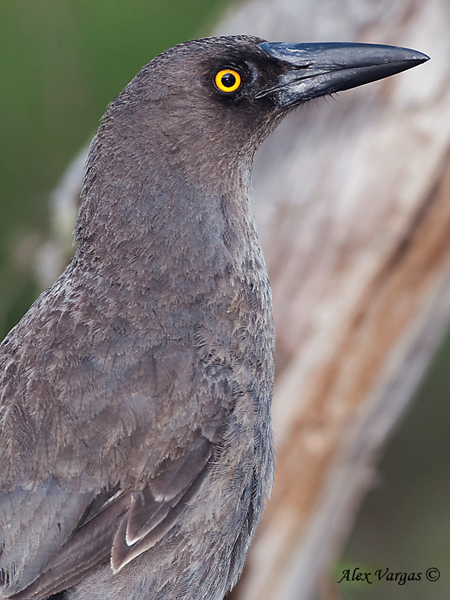 Currawong by Alex Vargas