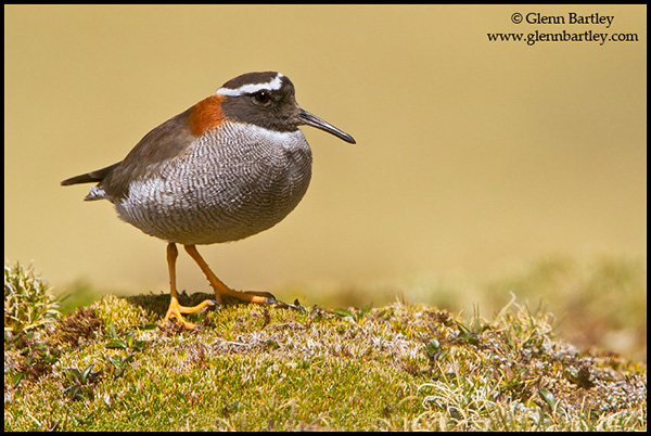 Diademed Sandpiper-Plover (Phegornis mitchellii) perched on the ground in the highlands of Peru.