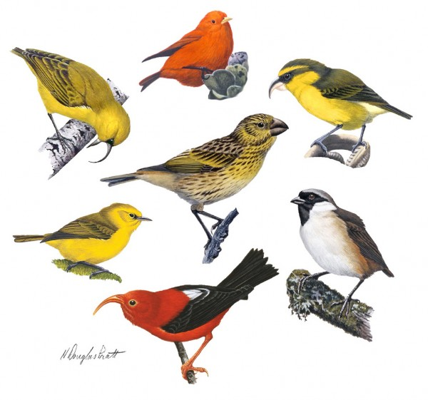 Hawaiian Honeycreepers by Douglas Pratt