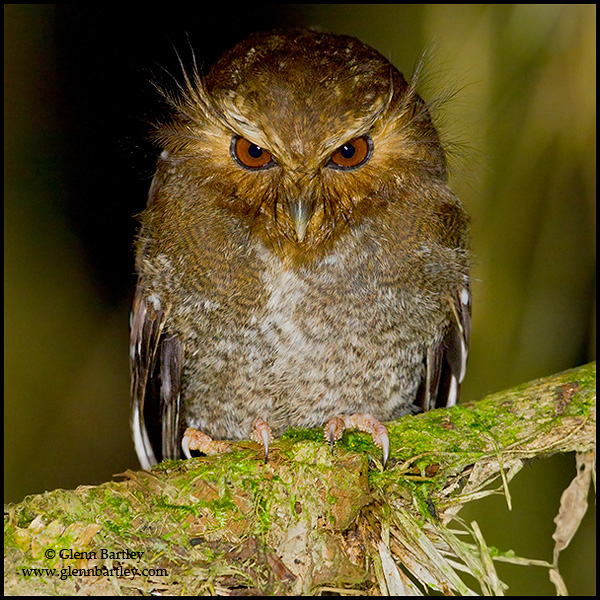 Long-whiskered Owlet Xenoglaux loweryi perched on a mossy branch at Abra Patricia Peru